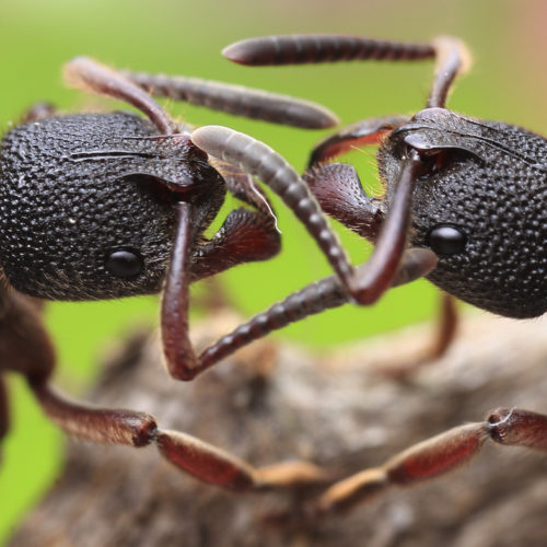 Ants 1 Wide 9a237cc604facec0d061e5a4f723b69594d4e02b