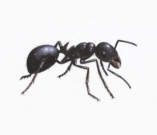 Black Garden Ant 1200x675 Copy